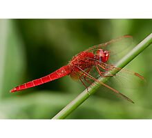 Red dragonfly Photographic Print