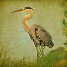 Great Blue Heron Along The Shore by Kathy Baccari