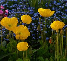 Iceland Poppy Flower Yellow Plant by HQPhotos