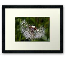 Spent Dandelion Framed Print