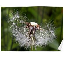 Spent Dandelion Poster