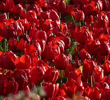 Tulip Field Tulips Red Strong Farbenpracht by HQPhotos