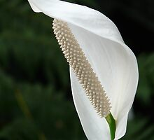Spathiphyllum Vaginal Sheet Flower White by HQPhotos