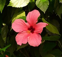 Hibiscus Flower Chinese Rose Eibisch Red Plant by HQPhotos