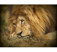 Rapt in Thought (Leo Panthera)  Photographic Print