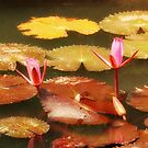 Lotus Flowers - Please Enlarge by Charuhas  Images