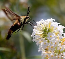 Hummingbird moth by Dennis Cheeseman