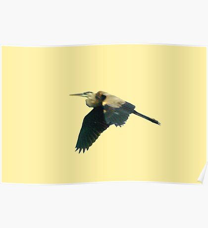 Tri-color heron in flight Poster