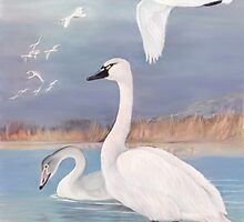 Trumpeter Swans by Walter Colvin