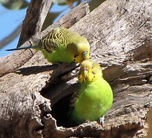 Pair of Grooming Budgerigar by DianneLac