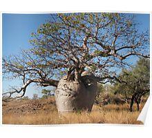 Ancient Kimberley Boab Poster
