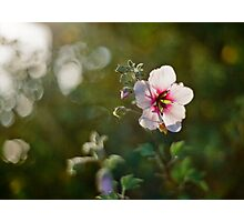 Lavatera  Photographic Print