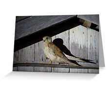 Barn Hawk Greeting Card
