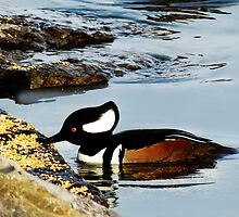 (✿◠‿◠) HOODED MERGANSER (✿◠‿◠) by ╰⊰✿ℒᵒᶹᵉ Bonita✿⊱╮ Lalonde✿⊱╮
