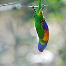 Acrobatic Rainbow Lorikeet. Cedar Creek, Qld, Australia by Ralph de Zilva
