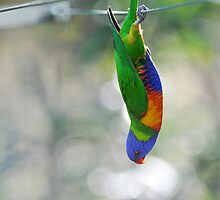 Acrobatic Rainbow Lorikeet. Cedar Creek, Qld, Australia by Ralph de Zilva