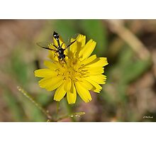 Black Wasp on a Dandelion Flower Photographic Print