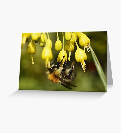 Bee on Allium (Fireworks) Greeting Card