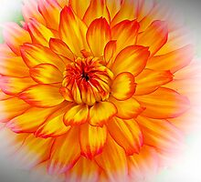 Dahlia II by Art-Motiva