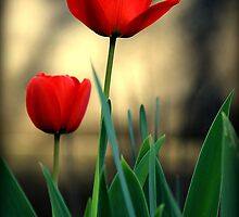 Red Tulip by neb-photography