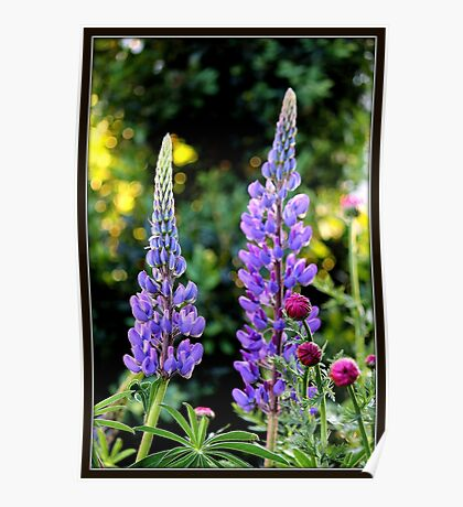 Lupines and Gerbera in the Garden Poster