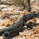 Heath Monitor Goanna 2 by mncphotography
