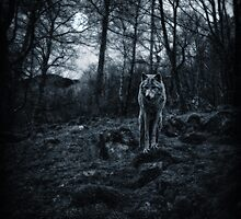 Canis Lupus ii by Nikki Smith