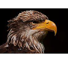 Maturing American Bald Eagle Photographic Print