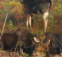 Maine bulls & cow moose Sticker