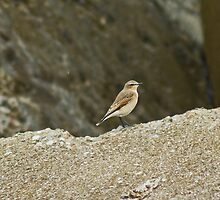 Female Wheatear by VoluntaryRanger