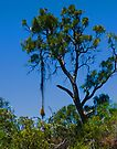Tree in Kings Park Perth Western Australia by Yukondick