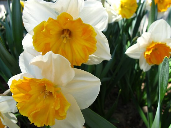 April Daffodils by MarianBendeth