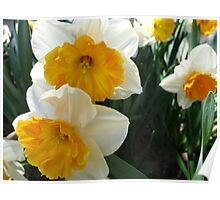 April Daffodils Poster