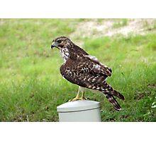 Neighborhood Hawk Photographic Print