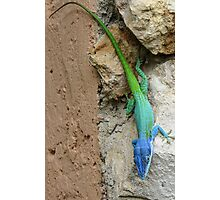 Multi colored lizard. Photographic Print
