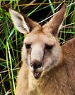 Kangaroo Head by Yukondick