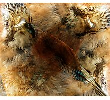 Designs Inspired By Nature: Eurasian Jay Photographic Print