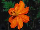 Orange Cosmos by Tori Snow