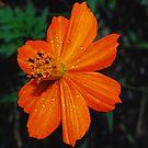 Orange Cosmos by Tori Snow