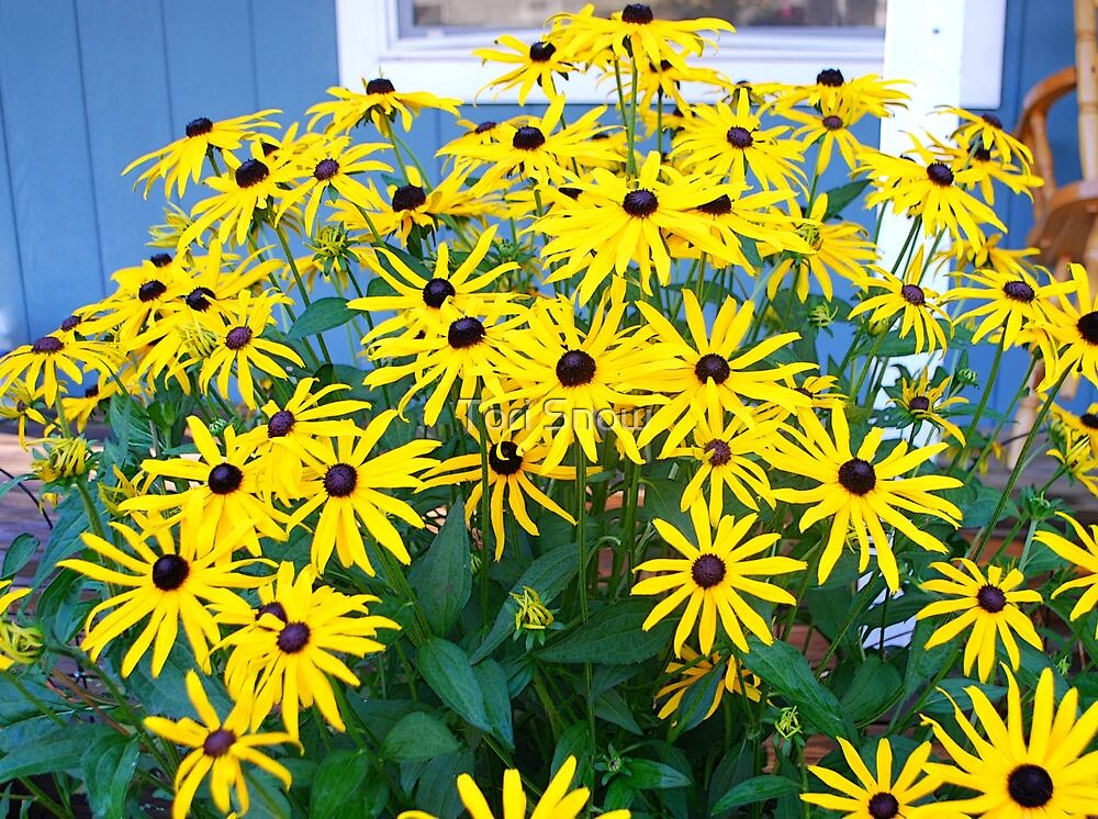 100 Black Eyed Susans by Tori Snow