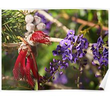 Hovea and Calothamnus Poster