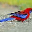 Crimson Rosella. Cedar Creek, Qld, Australia. by Ralph de Zilva