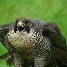 The Peregrine Falcon  by Declan Carr