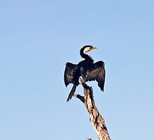 Cormorant July 12 by pennyswork