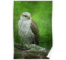 Gyr x Saker  Falcon  Poster