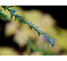 Pine Drop Photographic Print