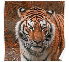Siberian (Amur) Tiger Poster