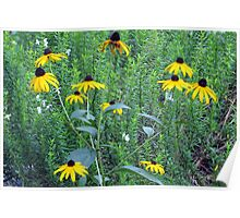 Little Patch of Black Eyed Susans Poster