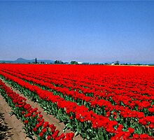 Rows of Red Tulips by Robert Breisch