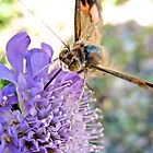 Painted Lady by lindsycarranza